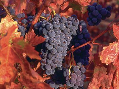 Полив виноградников
